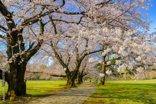 Foto op Canvas Natuur 公園の桜並木