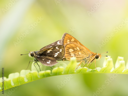 dwa motyle na paproci