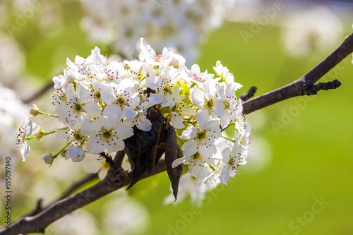 Foto op Plexiglas Landschappen Branch of cherry blossom tree in full bloom