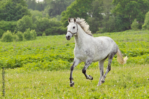 Bay horse run gallop on green meadow in summer day