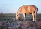 Horse grazing grass on the pasture. - 195105791