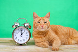 Orange ginger tabby cat laying on a wood table looking at viewer, green background next to an old fashioned alarm clock set to 1 o'clock AM. Daylight Savings. Spring forward. Fall back.