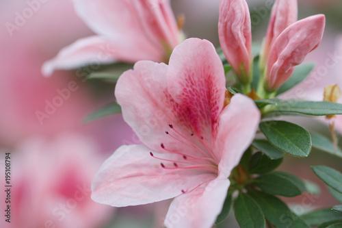 Aluminium Azalea blur floral background lush fresh azalea flowers