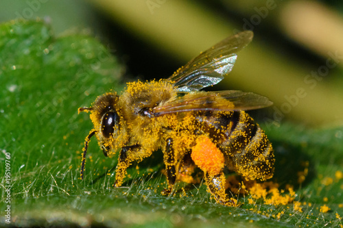 Fotobehang Bee Honey Bee pollinating flower