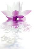 lotus - 195118533