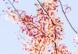 wild himalayan cherry flower in Thailand