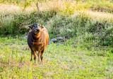 Thai buffalo looking camera in field