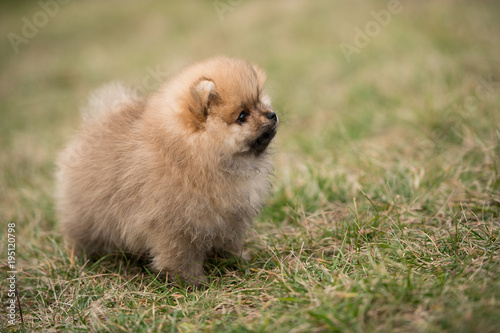 cute Little young pomeranian cob playing on grass outdoor