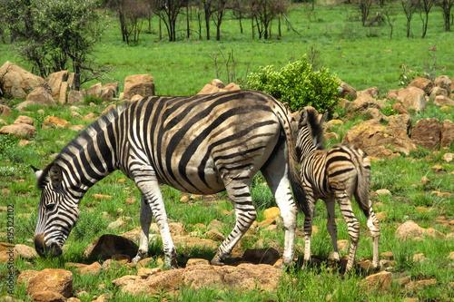Zebra Mutter mit jungtier