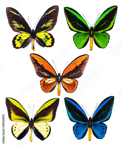 Aluminium Fyle Set of five tropical Ornithoptera birdwing butterflies isolated