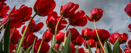 Plexiglas Rood paars Tulip culture, Netherlands