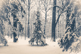 Old vintage photo. Fantastic Fairytale Magical Landscape View Christmas Tree Forest Park in Winter on a Sunny Day. Christmas Winter New Year Scenery background.