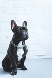 French bulldog sitting on the floor by white wall - 195142993