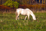 White horse eats grass in the meadow. The herd unattended in nature. - 195144575