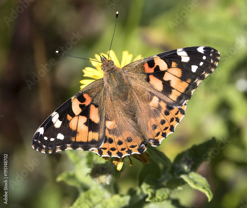 Fotobehang Vlinder Painted Lady