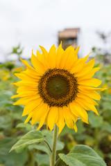 Summer sunflower in Taiwan