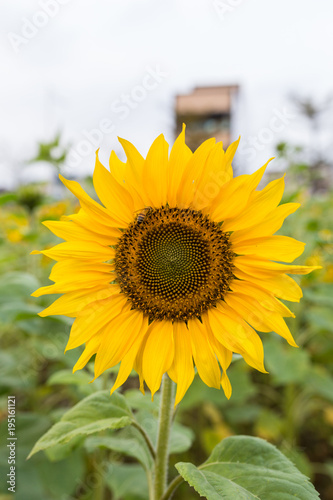 Fototapeta Summer sunflower in Taiwan