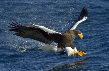Steller's sea eagle fishing. Adult Steller's sea eagle (Haliaeetus pelagicus).