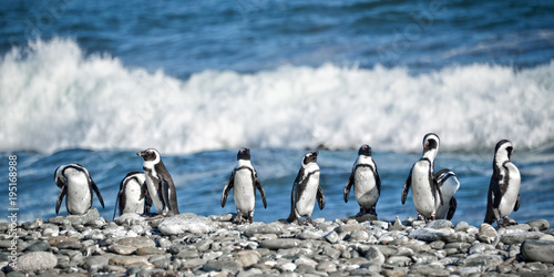 Aluminium Pinguin Panorama of penguins in a row, South Africa