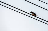 Bird hold on the wire, silhouette