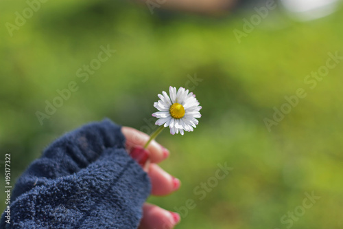 Closeup of white daisy flower in girl hand