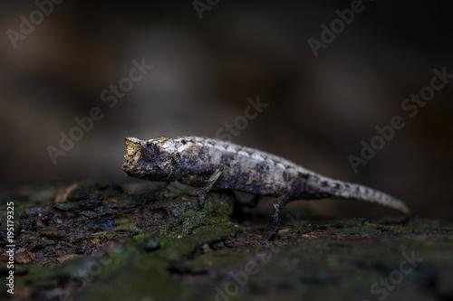 Fotobehang Kameleon chameleon - Brookesia tristis, small endangered beautiful endemic chameleon from Madagascar tropical forest. Camouflage.
