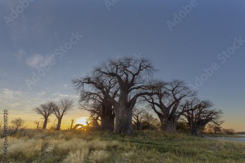 Aluminium Baobab Sunrise at Baines Baobab trees