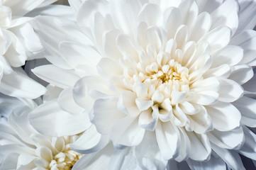 white chrysanthemum flower texture
