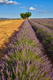 Lavender fields in Plateau de Valensole with stone house and tree in Summer. Alpes de Haute Provence, PACA Region, France - 195185131