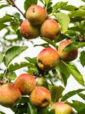 Maçãs na macieira.