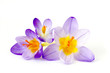 crocus - one of the first spring flowers - 195195129