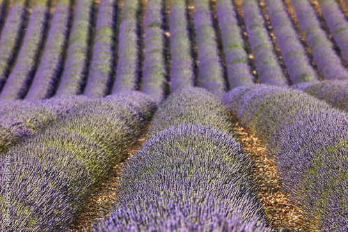 Plexiglas Lavendel lavender field in Provence, intentionally blurred