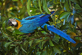 Blue Macaw in a tree. São Gabriel da Cachoeira, Amazon / Brazil
