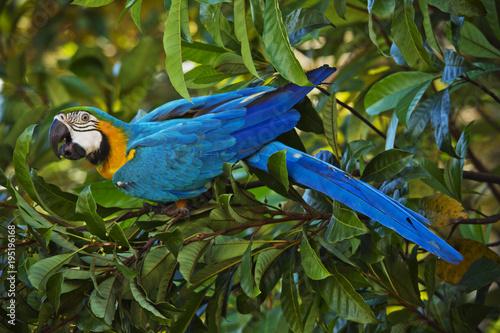 Fototapeta Blue Macaw - Amazon / Brazil