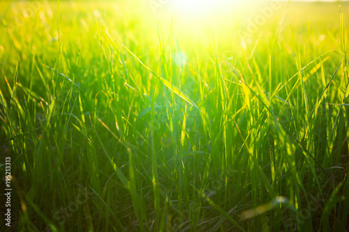Poster Gras Green grass on the field during sunset or sunrise. Nature background.