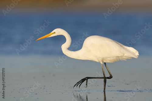 Foto op Canvas Natuur Great Egret stalking a fish in a shallow lagoon - Pinellas County, Florida