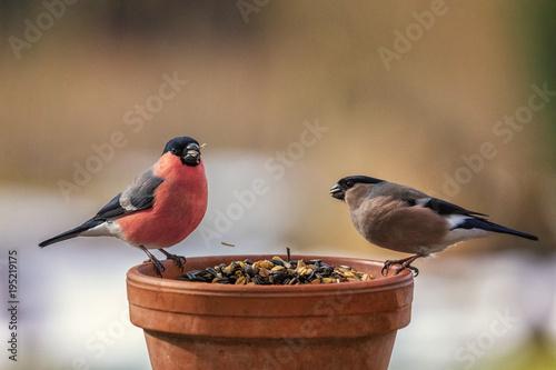 Leinwanddruck Bild Eurasian Bullfinch, Pyrrhula pyrrhula, couple