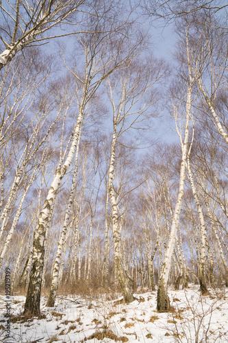 Fototapeta Birch forest in winter