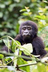 The mountain gorilla (Gorilla beringei beringei) sitting on the green bush