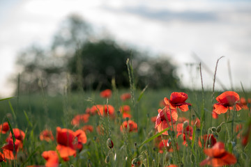 Flowering poppies on the field, summer day