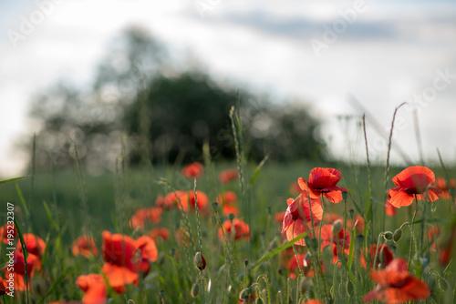 Staande foto Klaprozen Flowering poppies on the field, summer day
