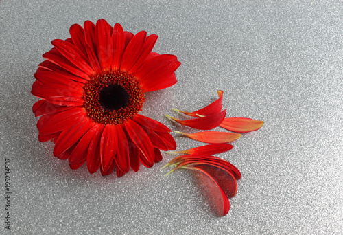 Plexiglas Gerbera Rote Gerbera mit Blütenblättern