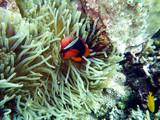 Weißbinden-Glühkohlen-Anemonenfisch (Amphiprion frenatus) - 195242145