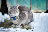 Beautiful domestic Cat, outdoor at winter