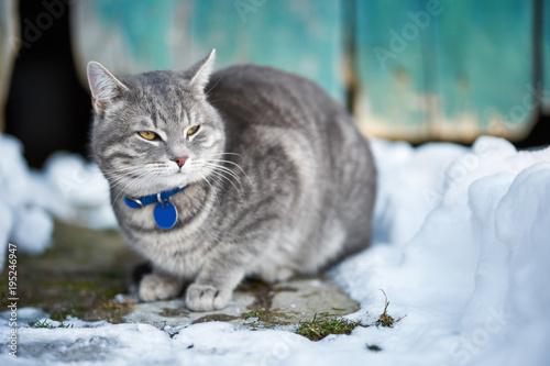 Piękny domowy kot, plenerowy przy zimą