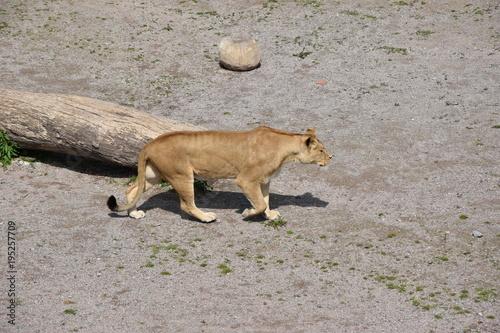 Fotobehang Lion Lionne en marche