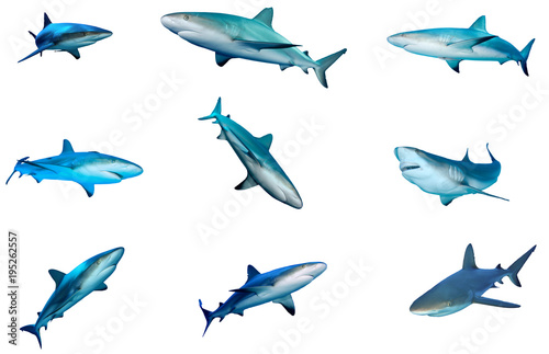 Fototapeta Collection of Sharks isolated. Caribbean Reef Shark cutouts