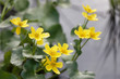 Closeup of yellow Marsh marigold or Kingcup flower (latin name: Caltha palustris)