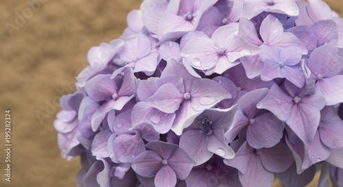 Aluminium Hydrangea Hydrangea flowers, beautiful lilac flower buds, background