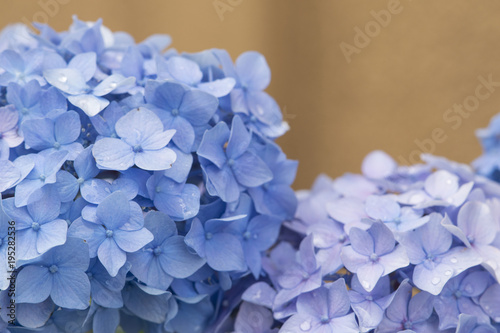 Fotobehang Hydrangea Background Hydrangea flowers, beautiful blue flower buds